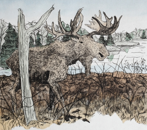 Etching with watercolor, drawn from the moose at the Nova Scotia Museum of Natural History, 2013.